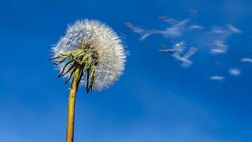 Pusteblume im Wind von Dieter Walther