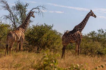Afrikaanse Giraffen van Dennis Eckert