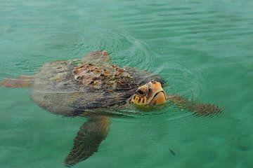 Zeeschildpad (Cheloniidae)