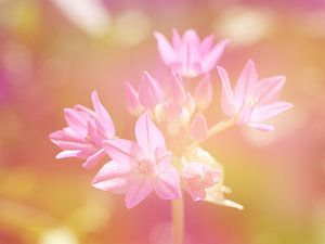 Roze allium