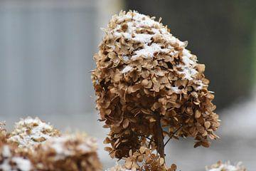 Schneebedeckte Blume von Henk-Jan Lubbers