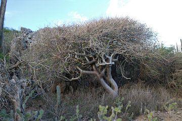 Baum auf Bonaire von Silvia Weenink