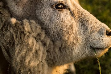 Schaf von Simon Knot