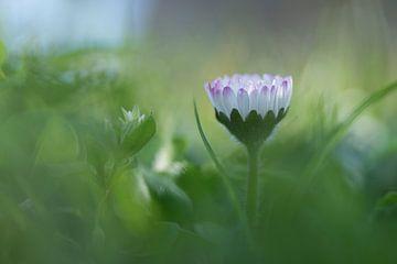 Gänseblümchen im Sonnenlicht von Birgitte Bergman