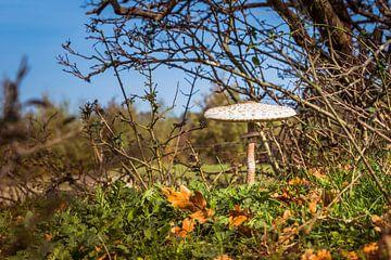paddenstoel  tussen de herfst bladeren von Compuinfoto .