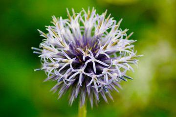 Paars/blauwe bloem von Jan Meijer