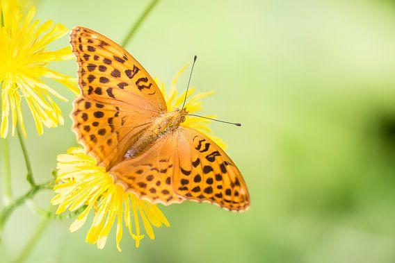 Keizersmantel vlinder op bloem van Mark Scheper