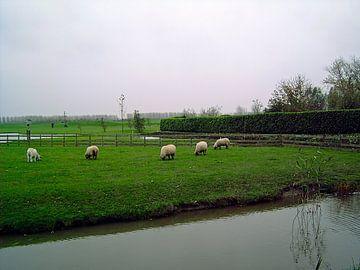 Grazende schapen von Frank Kleijn