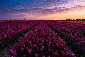 Zonsopkomst tulpenveld van Rick Kloekke