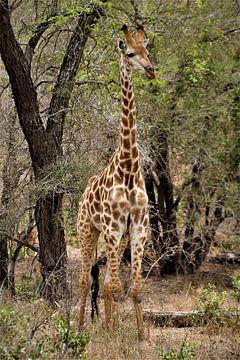 Giraffe in Afrika von Christiaan Van Den Berg