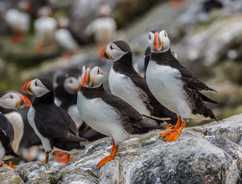 Papegaaiduiker groep van Robin Voorhamm