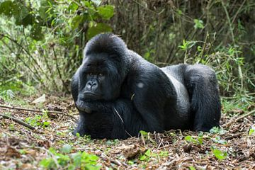 Berggorilla (Gorilla beringei beringei) man rustend in het regenwoud van