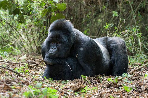 Mountain Gorilla (Gorilla beringei beringei) silverback resting von Nature in Stock