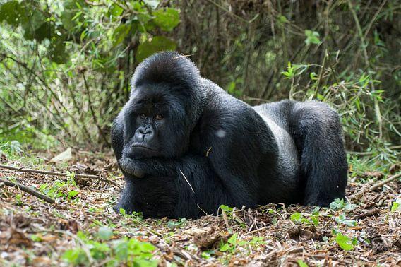 Berggorilla (Gorilla beringei beringei) man rustend in het regenwoud