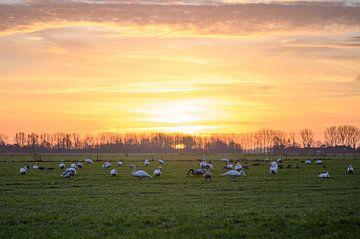 Schwäne bei Sonnenaufgang von Tania Perneel
