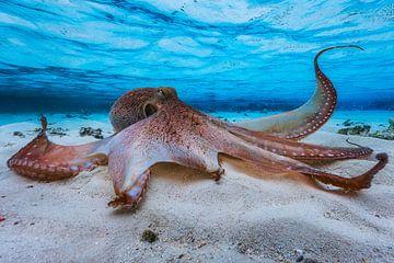 Octopus, Barathieu Gabriel von 1x