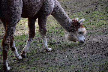 Alpaca van Corine Frelink