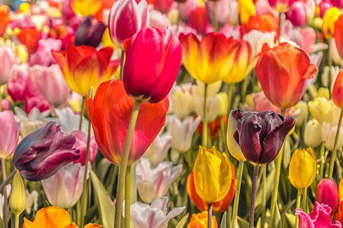 Veld tulpen vol kleur