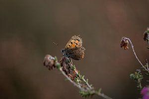 Vuurvlindertje op de uitgebloeide heide
