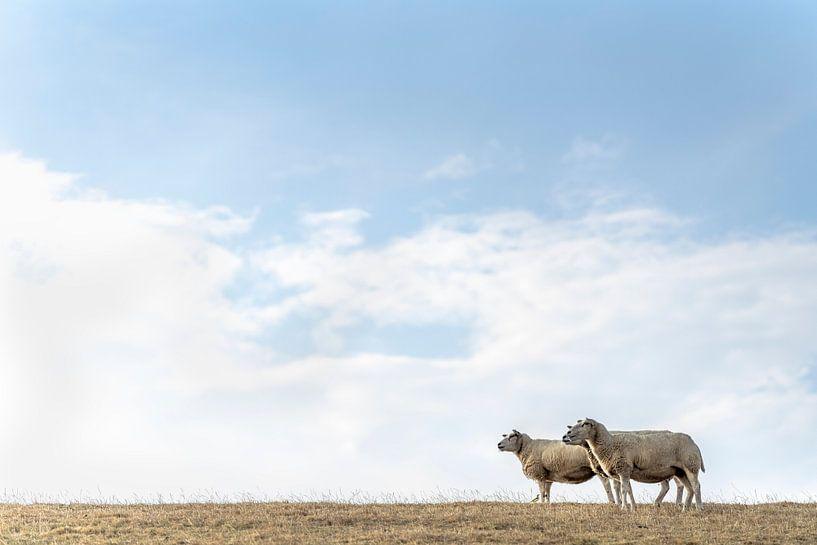 Drie schapen en een vogel van Steven Dijkshoorn