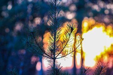 Des pins dans les bois de Chaam. sur