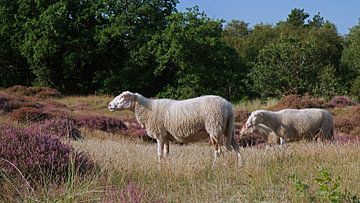 Schapen, Sheep sur Yvonne Balvers