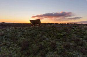 Schotse Hooglander Kalf op duintop tijdens zonsopkomst