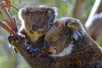 Koala met kleintje in de boom. van