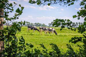 grazende koeien van