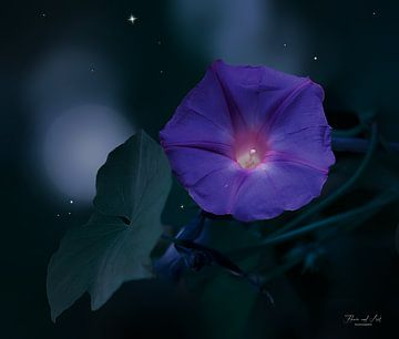 Blauwe dagwinde bloem bij nachtelijk hemel (Ipomoea learii)
