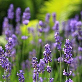 Lavendel sur Ostsee Bilder