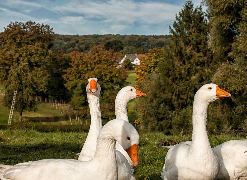 Nieuwsgierige ganzen in Epen Zuid-Limburg van John Kreukniet