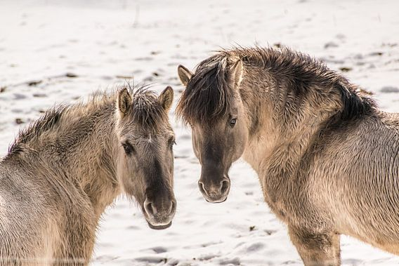 horses van Heinz Grates