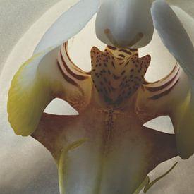 Kurzfassung Schmetterlingsorchidee 2 von Christophe Fruyt