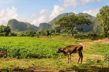 Viñales - Cuba sur Jack Koning