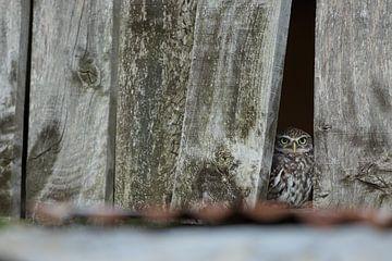 Kleine Eulenspione zwischen den Brettern der alten Scheune. von Jeroen Stel