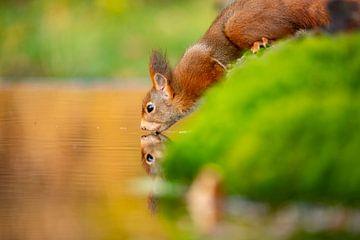 Eichhörnchen mit Durst, Herbst. von Gert Hilbink