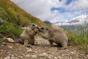 Een marmot probeert een wortel af te pakken van een andere marmot van