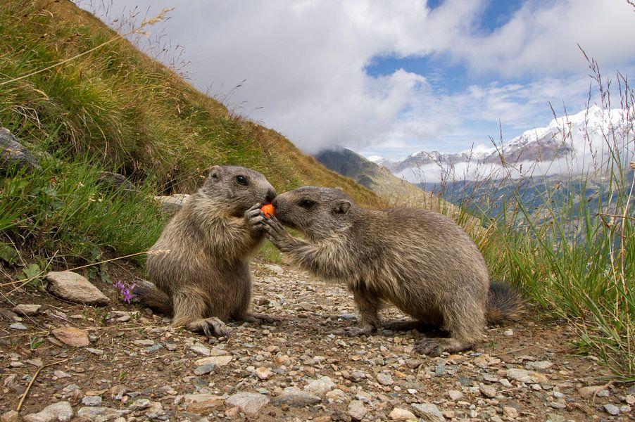 Een marmot probeert een wortel af te pakken van een andere marmot
