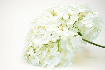 Weiße Hortensienpflanze Annabelle von Kunstdoorsuus