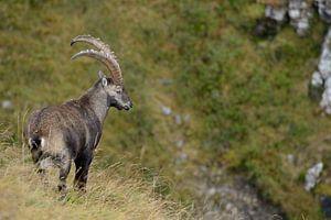 Alpine Ibex ( Capra ibex ), Swiss Alps