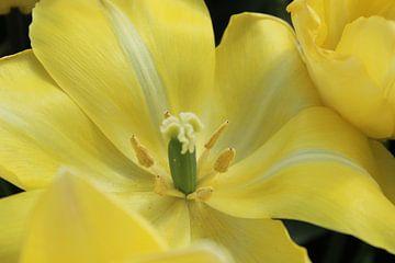 opengeslagen tulp von iris doff