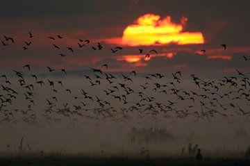 Aufbruch zum Sonnenaufgang... Gänse *Darß-Zingst* von wunderbare Erde