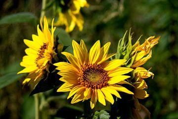 Sunflowers von Michael Nägele