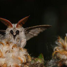 Meriansborstel, nachtvlinder van Margreet Frowijn