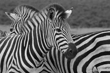 Zebra van Ronald Bruijniks