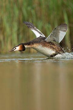 Haubentaucher ( Podiceps cristatus ) startet im Wasser, läuft an, fliegt auf, voller Aktion, wildlif von wunderbare Erde