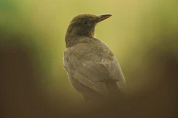 Blackbird van Douwe Schut