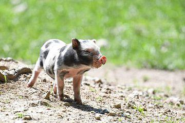 Eine kleines Baby Schweinchen im Freien