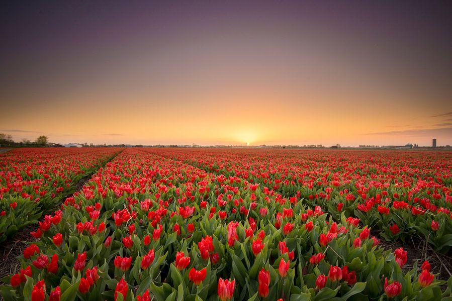 Tulpenvelden bollenstreek